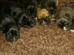 Pups at only a week old