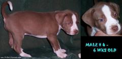 Male # 4 - 6wks old (red n wht, red nose, green eyes)