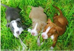 3 Puppies left off the JCK yard if interested call (830) 789-4355