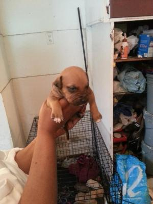 American Pitbull Terriers (Carver,Jeep,OldfamilyRednose
