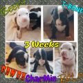 ***5 ALL Boys Blue & Red Puppies 4 Adoption***