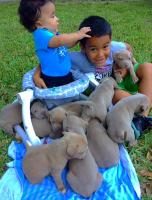 Blue Nose Fawn Bully Pitbull Puppies