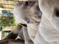 Registered pure breed blue nosed Pitbull pups.