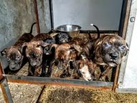 Adba reg pups.... DNA TESTED AND PROFILED
