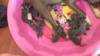 Blue APBR Registered Puppies