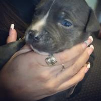Blue Nose Puppies