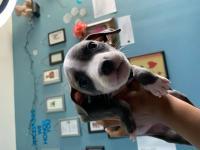 Beautiful Blue Nose Pitbull Girls
