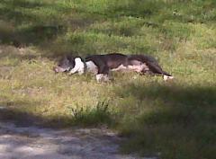 Tonka lounging in the sun