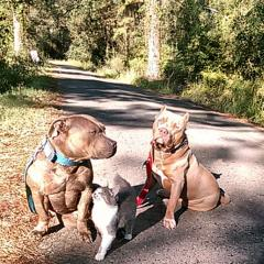 CeZaire Kennels » Pit Bull Social - Pit Bull Social Networking